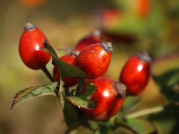 Rosehip Oil: 10 Reasons Why You Should Start Using it on Your Skin & Face