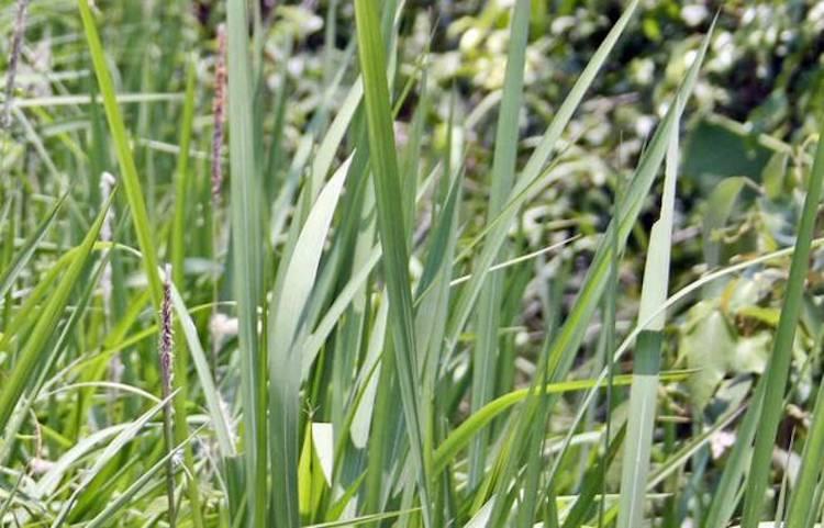 Vetiver Plant