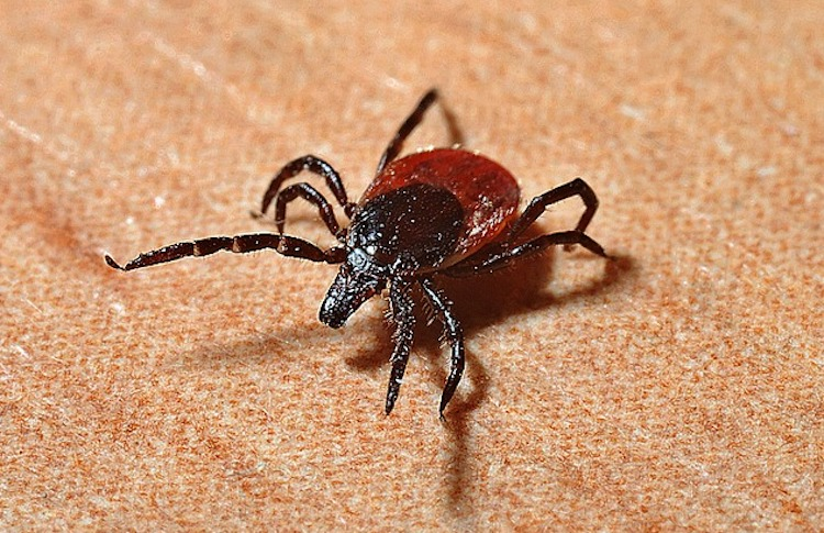 Copaiba essential oil for control against ticks