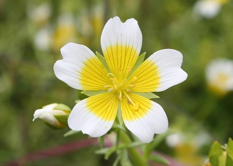 Meadowfoam Seed Flower