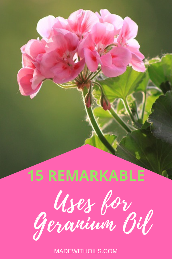 Learn about the magnificent uses and benefits of geranium essential oil. | Madewithoils.com